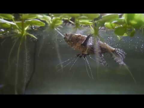 アクア#4念願のあの魚をお迎えしましたパントドン