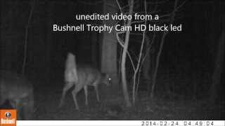 Bushnell Trophy Cam HD video of a Deer Group Passing Through woods
