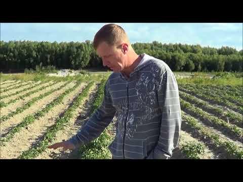 Вопрос: Зачем избавляться от картофельной ботвы?
