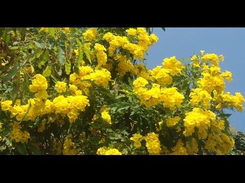 Beautiful flowers in the world yellow bells youtube beautiful flowers in the world yellow bells mightylinksfo
