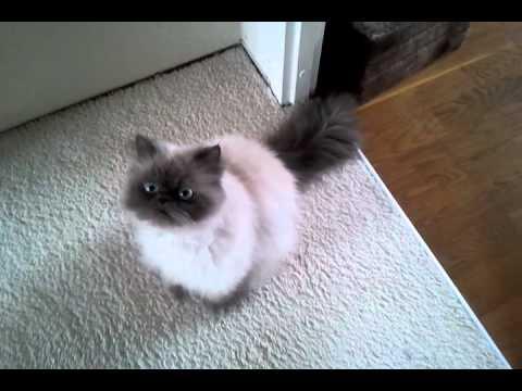Download Perzische kat jewel miauwen