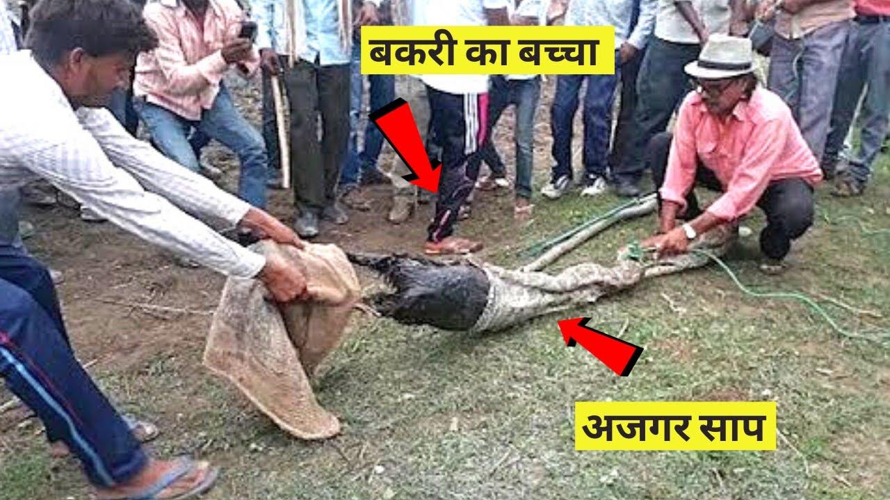 जिंदा बकरी निगल गया अजगर, ऐसा निकाला गया बाहर ? Largest Snake in the World