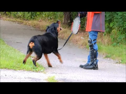 Rottweiler Fury Unleashed - Dog Whisperer BIG CHUCK MCBRIDE