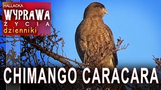 Chimango Caracara - Patagonia - Chile