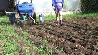 копаем картошку полтавской копалкой