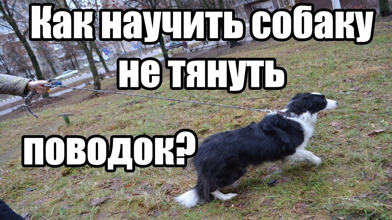 Как научить собаку не тянуть поводок / Дрессировка собак