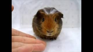 4月18日生まれのクレステッドモルモットです。 毛は少し長めでふさふさ...