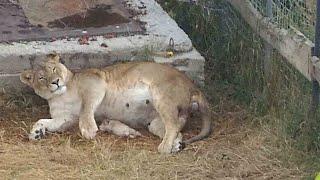 Львица Лиза рожает. Первые минуты жизни львят. Тайган. Lioness Gives Birth.