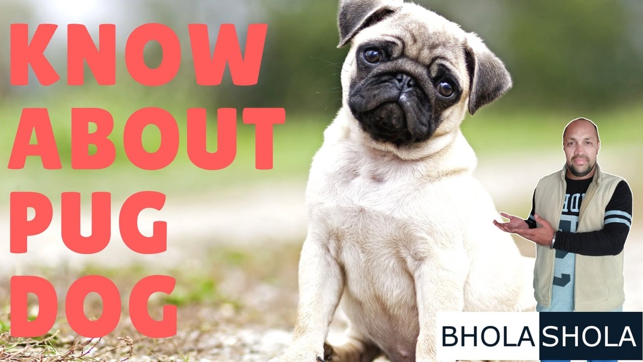 Who is in the Pug Zone: History and Interesting Facts