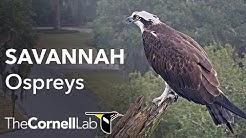 Savannah Ospreys Cam 1 PTZ   Cornell Lab & Skidaway Audubon