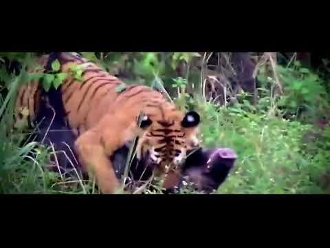 Kaplan Aslan Gerçek Dövüş! Kaplan avı saldırısı!