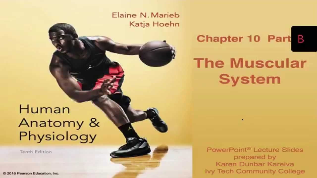 Anatomy and Physiology Chapter 10 Part B Lecture: The Muscular ...