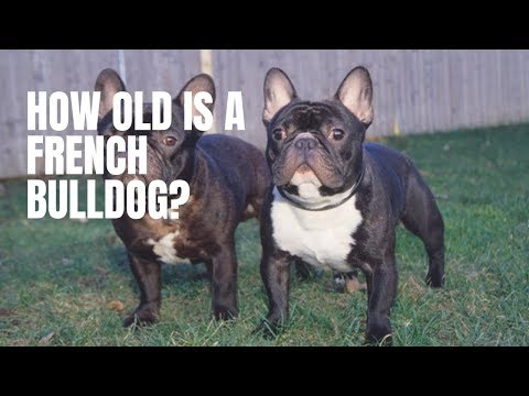 How Old Is a French Bulldog?