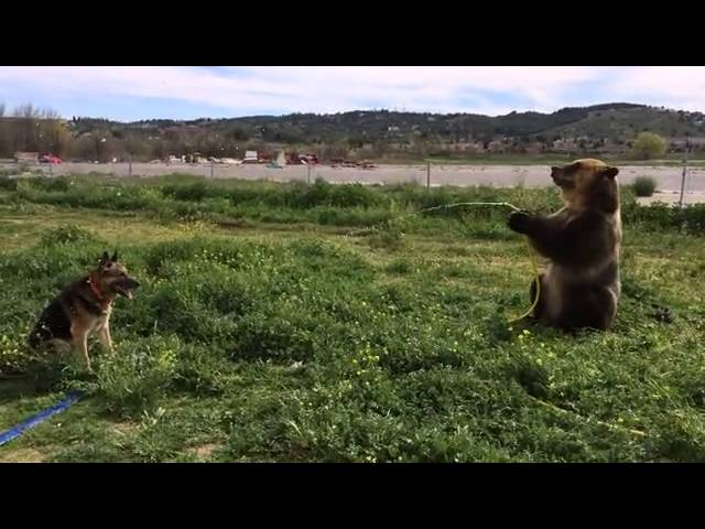Brown bear sprays dog with hosepipe