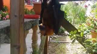 Остров Маэ, Сейшельские острова, летучая лисица