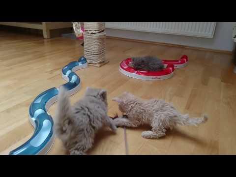 GREMLIN*PL - koty rasy Selkirk Rex