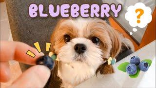 블루베리를 처음 먹어본 시츄 강아지의 반응은⁉️ | S…