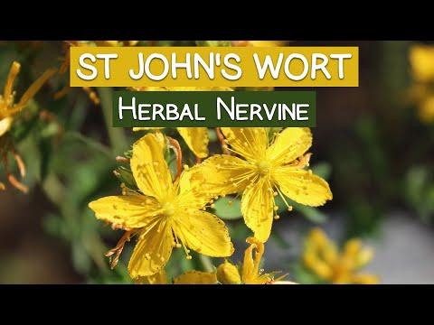 St Johns Wort Plant, An Herbal Nervine