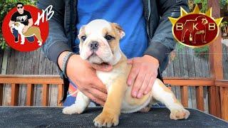 Nueva camada, Pegando orejas, Bulldog Ingles!!
