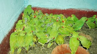indian green parrot Breeding farms and indian alexandrine Breeding chicks