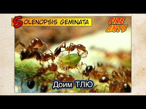 ОГНЕННЫЕ МУРАВЬИ доят ТЛЮ // FIRE ANTS Solenopsis Geminata