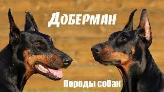 Породы собак. Доберман(, 2012-04-06T11:02:17.000Z)