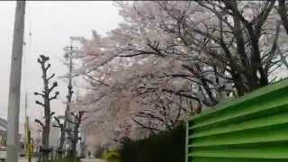 ドライブレコーダーからの高浜中学校前の桜風景 2015.04.03