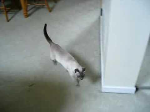 Loud Siamese Cat