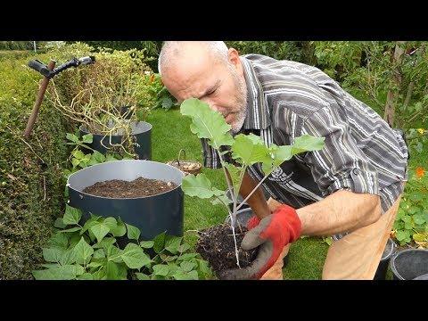 Duke of York vs. rote Emmalie Kartoffelernte / Flower Sprouts als Nachkultur