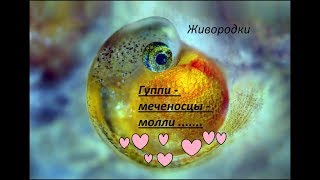 Содержание гуппи. Размножение живородящих рыбок