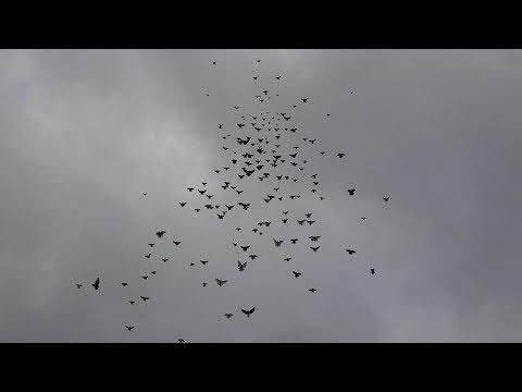 300 голубей в небе! Питомник им. А.С.Брагина + Марганецкий голубедром