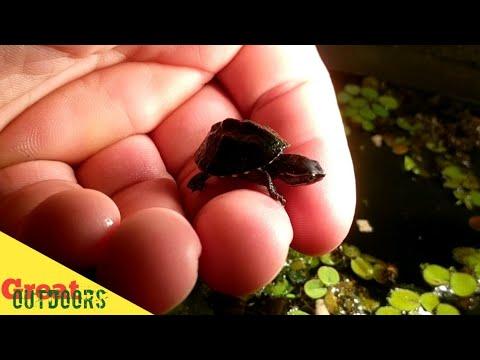 OMG. Three Striped Mud Turtle. World's Smallest Turtle. HATCHED