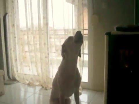Our singing dog LAKIS!
