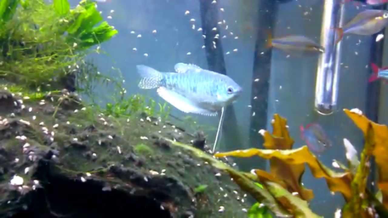 Blue gourami in 55 gallon freshwater fish tank (Music)