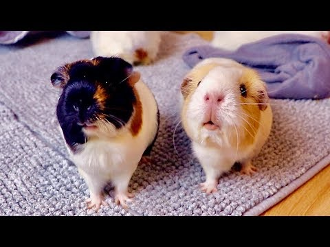 Floor Time Vlog: Wheeking Guinea Pigs