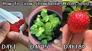 공짜로 딸기 모종 얻는 방법!ㅣHow To Grow Strawberries From Seed