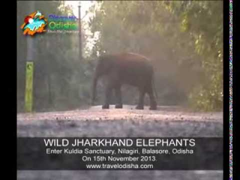 Wild Jharkand Elephants enter Nilgiri Balasore Odisha & Nilagiri Udala road remains disrupted