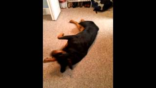 Rottweiler Gets Her Ears Cleaned