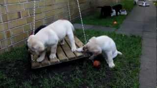 Labrador Retriever Welpen , Www.boilkas-labrador.de