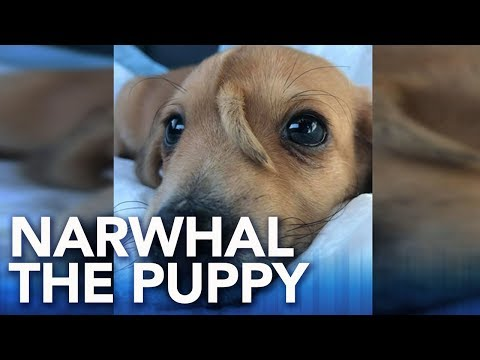 Ellen K - Meet Narwhal, A Real Life Puppy Unicorn!