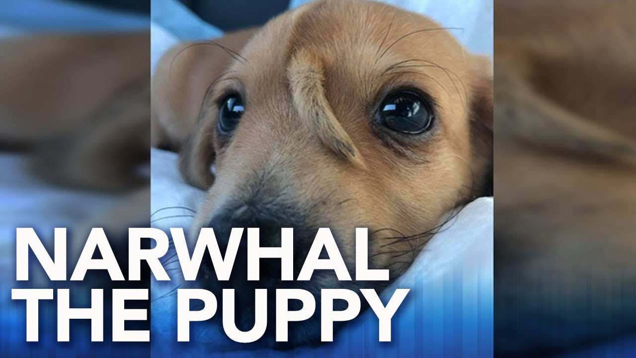 This Puppy Named Narwhal Has An Extra Tail On His Head And ...