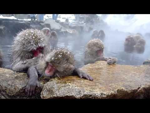 снежные обезьяны Япония Japanese snow monkeys