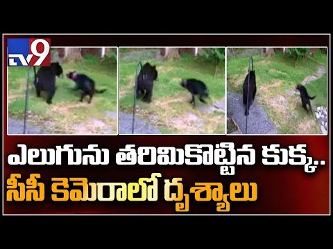 Brave dog chases bear from backyard || New Jersey - TV9