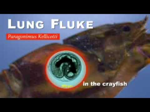 Crayfish Source Of Lung Worm Infection