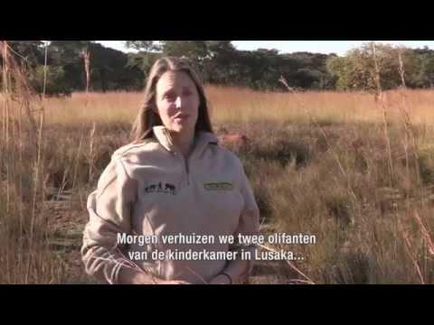 Hoop voor Jumbo: een betere toekomst voor de olifanten van Zambia