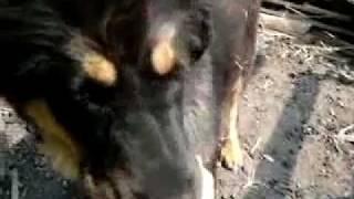ちうごくで 4ヶ月くらいの チベタン マスティフ(Tibetan Mastiff)チベ...