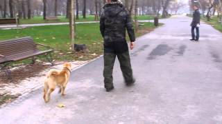 Gaby Rocco Dresaj Canin -- Shar Pei
