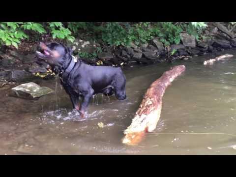 Rottweiler vs Staffordshire Bull Terrier