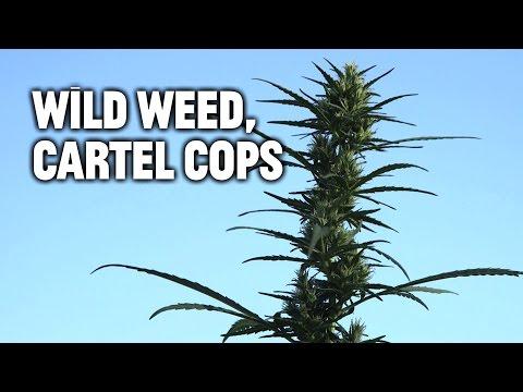 Wild Weed, Cartel Cops