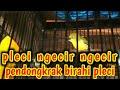Pleci Ngecir Ngecir Pendongkrak Birahi Pleci Agar Pleci Buka Paruh Dan Pleci Gacor  Mp3 - Mp4 Download